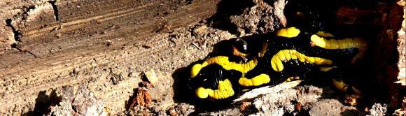 http://cri-me.cowblog.fr/images/salamandre2.jpg